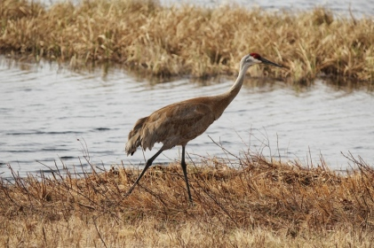 Sandhill Crane 2