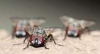 Gang of Houseflies