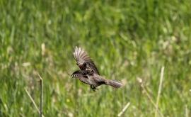 Female Redwing Blackbird