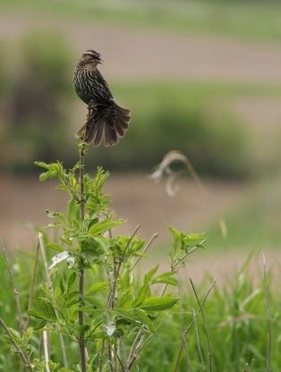 Female Redwing Blackbird Singing