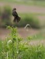 Female Redwing Blackbird Singing