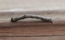 Twig-like Caterpillars 004 - Copy