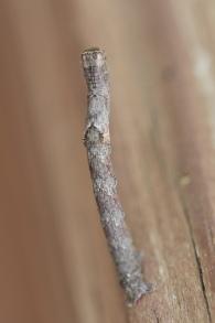 Twig-like Caterpillars 012 - Copy