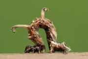 Twig-like Caterpillars 108 - Copy