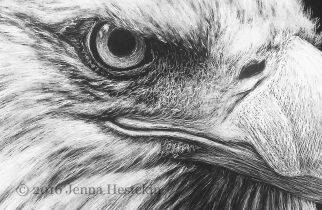 Bald Eagle Crop 1 CR